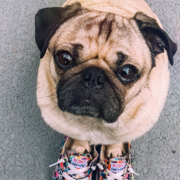 instagram-star-doug-the-pug-is-now-making-shoes-for-humans-that-help-out-pets
