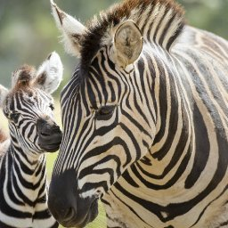 a-baby-zebra-was-born-at-werribee-open-range-zoo-and-our-hearts-are-exploding