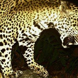 mexicos-jaguar-warriors-risk-their-lives-to-save-big-cats