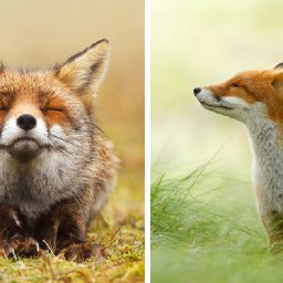 zen-foxes-photographer-documents-wild-foxes-enjoying-themselves