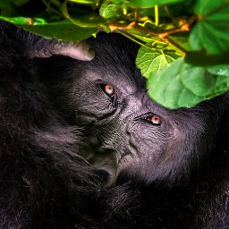 50-interesting-facts-about-gorillas