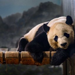 bei-bei-the-giant-panda-is-flying-from-dc-to-china-in-a-private-jet-with-all-his-favorite-snacks