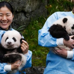 adorable-giant-panda-twins-named-after-reaching-100-days-old