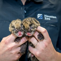 houston-zoo-welcomes-pair-of-baby-clouded-leopards