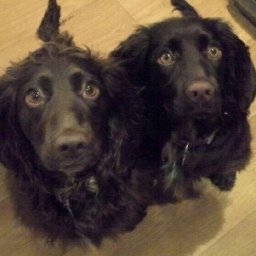 cocker-spaniel-with-cancer-to-receive-stem-cells-from-mother-living-4000-miles-away