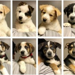 8-puppies-from-reindeer-litter-available-for-adoption-soon-at-seattle-humane