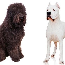 welcome-to-the-club-two-new-dog-breeds-recognized-for-2020
