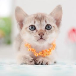 the-5-smallest-cat-breeds-are-big-time-adorable