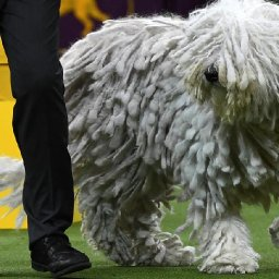 dogs-get-ready-to-bow-and-wow-at-the-westminster-dog-show