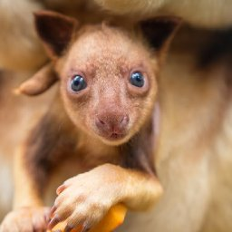 meet-chimbu-the-blue-eyed-bear-eared-tree-kangaroo-your-cuppa-can-help-save-his-species