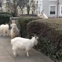 naughty-goats-take-over-deserted-town-during-coronavirus-lockdown