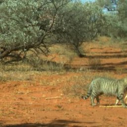 enormous-feral-cat-spotted-in-australias-rugged-simpson-desert