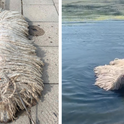 dog-that-looks-like-a-mop-goes-viral-for-swimming-in-a-lake