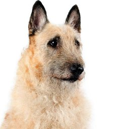 this-shaggy-shepherd-style-dog-is-the-latest-recognized-breed-in-america-its-dog-show-debut-is-in-flux