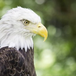 everything-you-think-you-know-about-bald-eagles-is-wrong