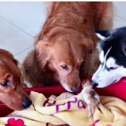 two-golden-retrievers-and-one-husky-become-protectors-of-newborn-kittens