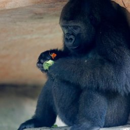 endangered-gorilla-in-new-orleans-expecting-first-baby