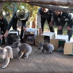watch-koala-family-returned-to-australian-bush-after-wildfires