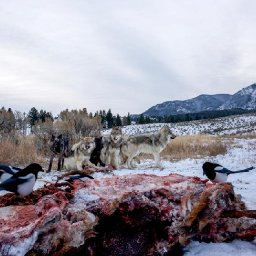 25-years-after-returning-to-yellowstone-wolves-have-helped-stabilize-the-ecosystem