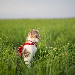 cat-walking-your-complete-guide-to-leashes-harnesses-and-more-i-the-discerning-cat