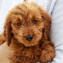 a-visual-guide-to-all-the-different-types-of-poodle-mixes-also-called-doodle-dogs