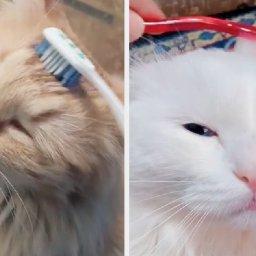 people-on-tiktok-are-brushing-their-cats-with-wet-toothbrushes-so-i-decided-to-talk-to-a-vet