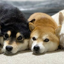 adorable-japanese-cat-thinks-shes-a-dog-just-like-her-shiba-inu-siblings
