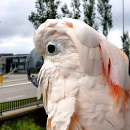 cockatoo-clucks-like-a-chicken-at-traffic-in-the-street