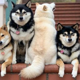 30-times-this-funny-shiba-inu-hilariously-ruined-her-group-family-photos