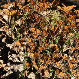 migrating-monarchs-are-in-trouble-heres-how-we-can-all-help-them