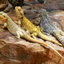 they-dont-breathe-fire-but-bearded-dragons-make-cool-pets