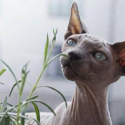 weird-cat-breeds-7-strange-and-wonderful-felines-weird-cat-breeds-7-strange-and-wonderful-felines-i-the-discerning-cat