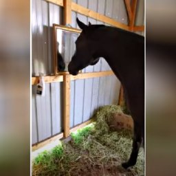 horse-discovers-mirror-for-the-first-time-making-owner-laugh-over-her-response