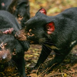 tasmanian-devils-claw-their-way-back-from-extinction