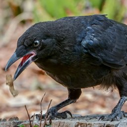 four-month-old-ravens-could-be-as-intelligent-as-adult-apes