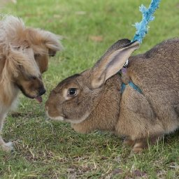 flemish-giant-rabbits-are-docile-snuggle-bunnies
