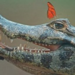 apparently-butterflies-land-on-crocodiles-to-drink-their-tears-flipboard