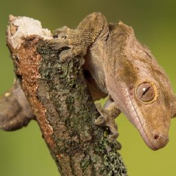 the-cute-crested-gecko-once-thought-extinct-is-now-bred-by-the-thousands