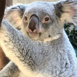 peek-a-boo-columbus-zoo-welcomes-first-baby-koala-in-15-years