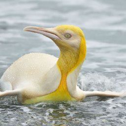 wildlife-photographer-captures-never-before-seen-yellow-penguin