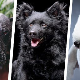 24-rare-dog-breeds-youve-never-heard-of-before