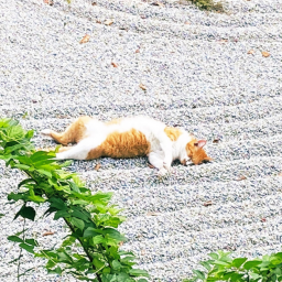 cat-caught-taking-a-nap-in-the-middle-of-a-japanese-zen-garden