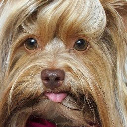 more-than-a-hound-dog-teddy-the-yorkie-finds-fame-thanks-to-his-elvis-inspired-hairstyles
