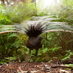 a-single-male-lyrebird-can-mimic-the-sound-of-an-entire-flock