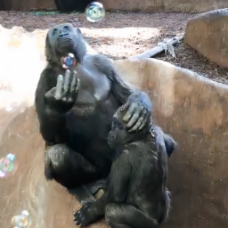 toronto-zoo-releases-video-of-gorillas-playing-with-bubbles-and-its-so-cute-it-hurts