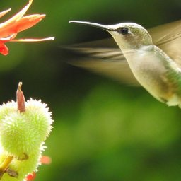how-do-you-weigh-a-hummingbird
