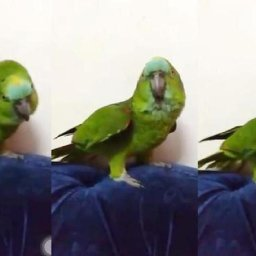 parrot-singing-beyonces-hit-song-if-i-were-a-boy-leaves-netizens-stunned-watch-video