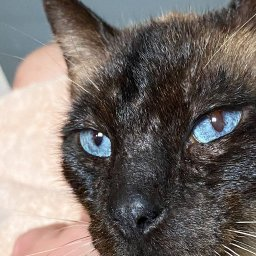 hemingway-the-polydactyl-siamese-cat-with-extra-toes-adopted-by-loving-family