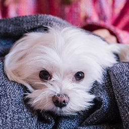 the-16-best-lap-dogs-that-are-basically-blankets-with-legs