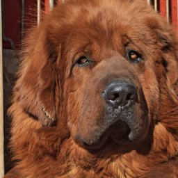 enormous-dog-is-way-bigger-than-you-can-imagine